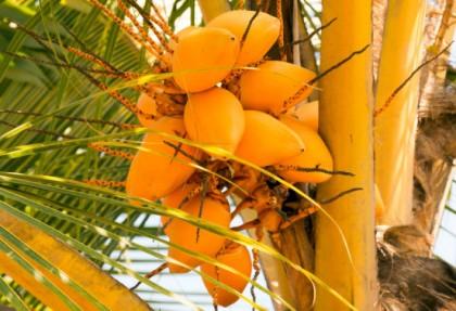 coco amarelo 2