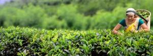 plantação de chá ceylon